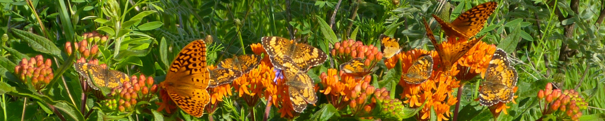 Checkerspots and crescents 6-28-14 3
