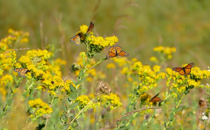 monarchs-and-viceroys-9-14-16-2