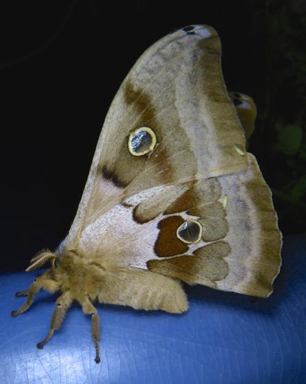 antheraea-polyphemus-6-11-14-2