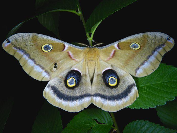 antheraea-polyphemus-6-11-14-4