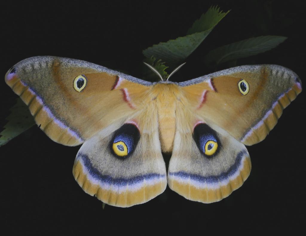 Antheraea Polyphemus Polyphemus Moth Prairie Haven