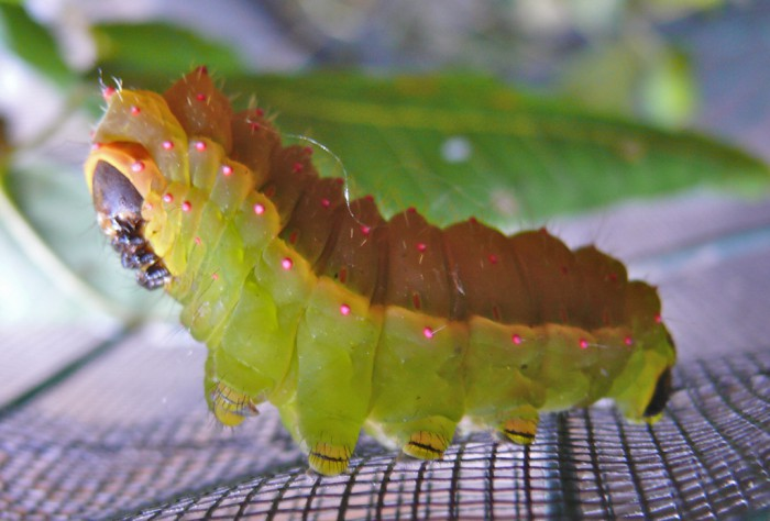Actias luna 5th instar 9-14-11 1