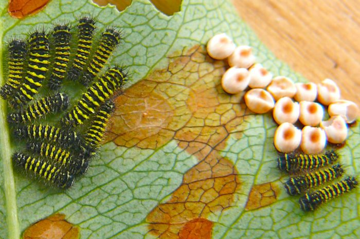 callosamia-promethea-eggs-and-larvae-7-25-09-1