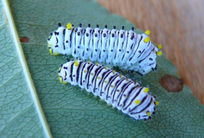 callosamia-promethea-larva-8-18-09-1