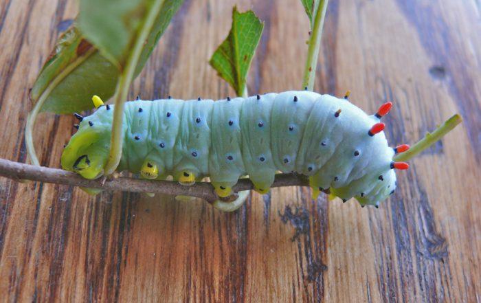 callosamia-promethea-last-instar-larva-9-12-09