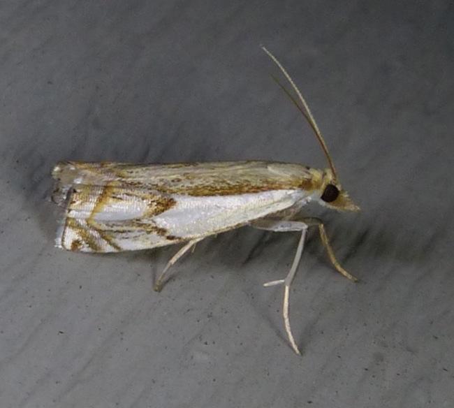 crambus-agitatellus-double-banded-grass-veneer-7-27-13