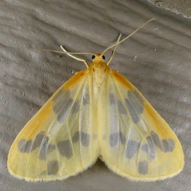 Eubaphe mendica 7-10-15 1