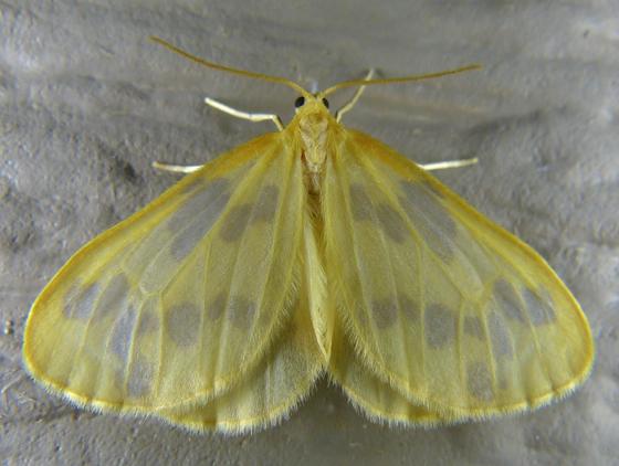 Eubaphe meridiana 6-11-14 1