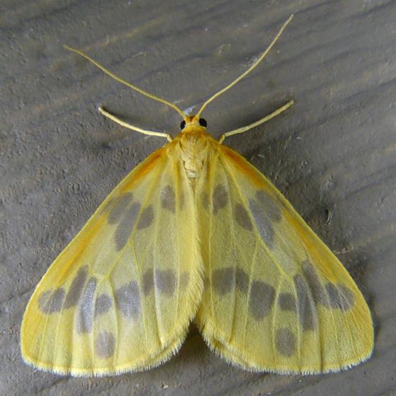 Eubaphe meridiana 7-5-14 1