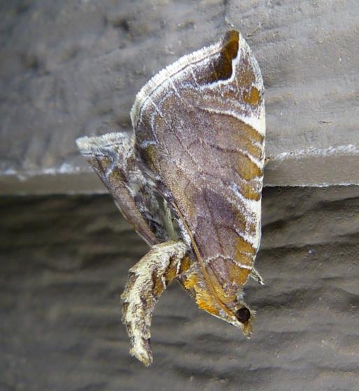 eulithis-molliculata-7-10-14-1