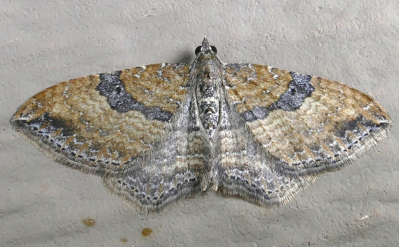 orthonama-obstipata-9-27-14-2