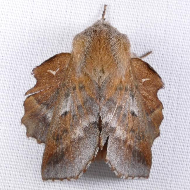 Phyllodesma americana 4-17-15 1
