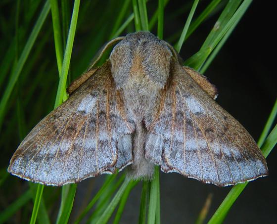 Phyllodesma americana 5-21-14 1