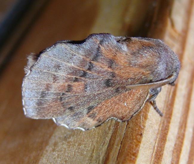 Phyllodesma americana 7-11-11 3