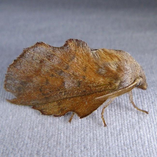 Phyllodesma americana 7-30-14 1