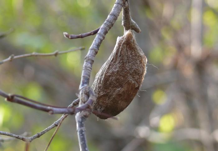 hyalophora cecropia cocoon 10-19-08 1