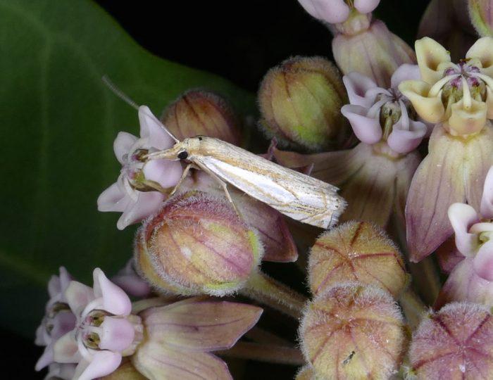 moths-on-milkweed-crambus-agitatellus-6-27-16-1