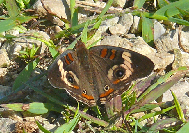 Common buckeye 8-26-10 1