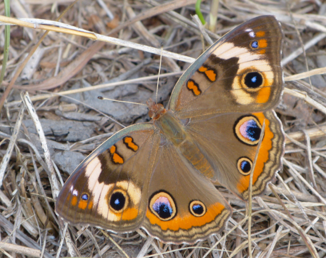 common buckeye 9-18-13