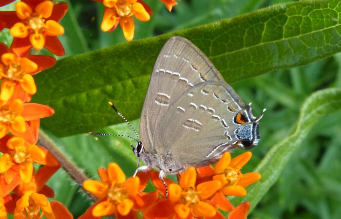 Banded Hairstreak 7-10-2013