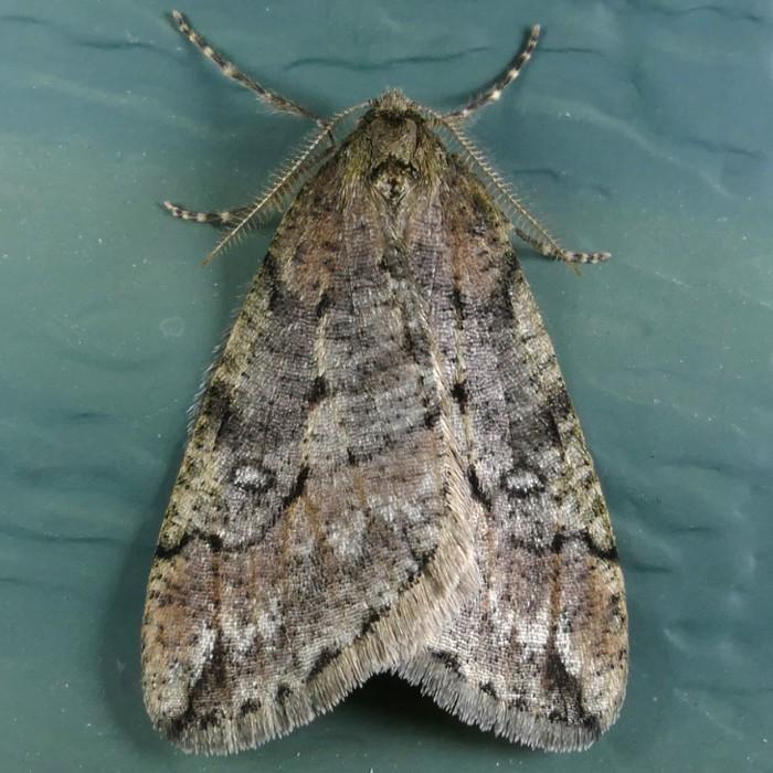 Paleacrita merriccata 3-13-15 1