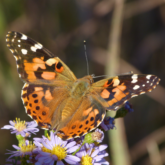 painted lady 9-23-12 9
