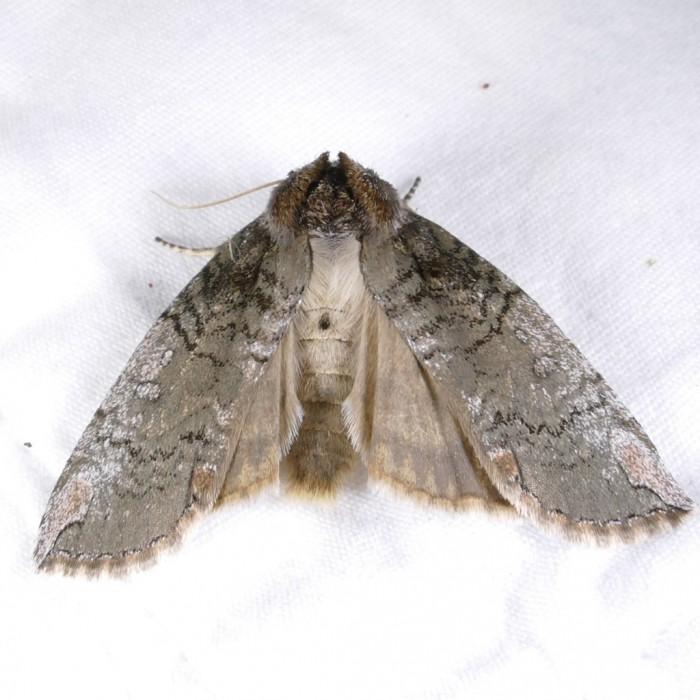 Euthyatira pudens 4-15-16 1