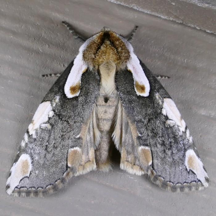 Euthyatira pudens 4-15-16 2