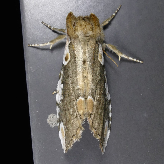 Euthyatira pudens 4-17-15 2