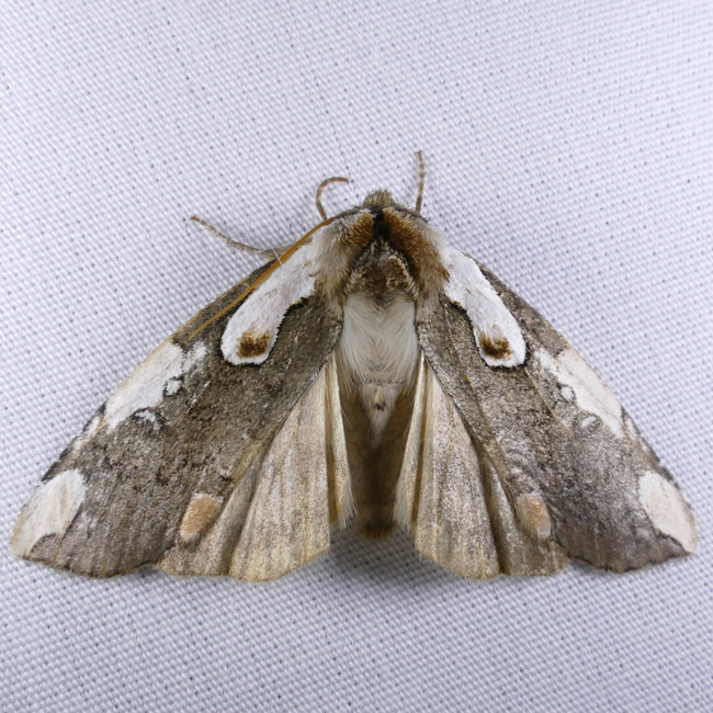 Euthyatira pudens 5-9-15 1