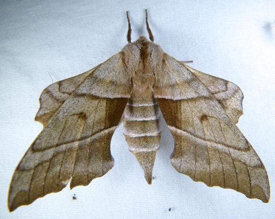 Amorpha juglandis 5-29-14 1