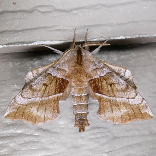 Amorpha juglandis 6-7-15 1