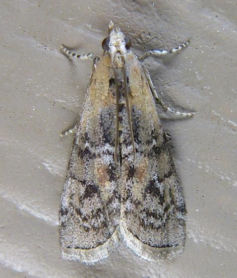 Glyptocera consobrinella 6-11-14 1
