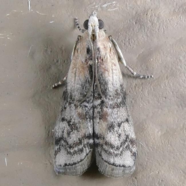 Glyptocera consobrinella 6-2-15 1
