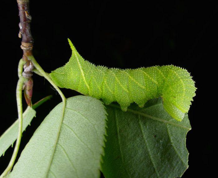 Paonias myops larva 8-22-16 1