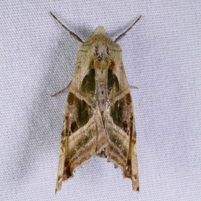 phlogophora-iris-6-10-16-1
