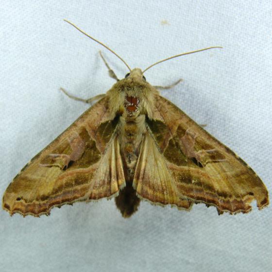 phlogophora-iris-6-21-11-9