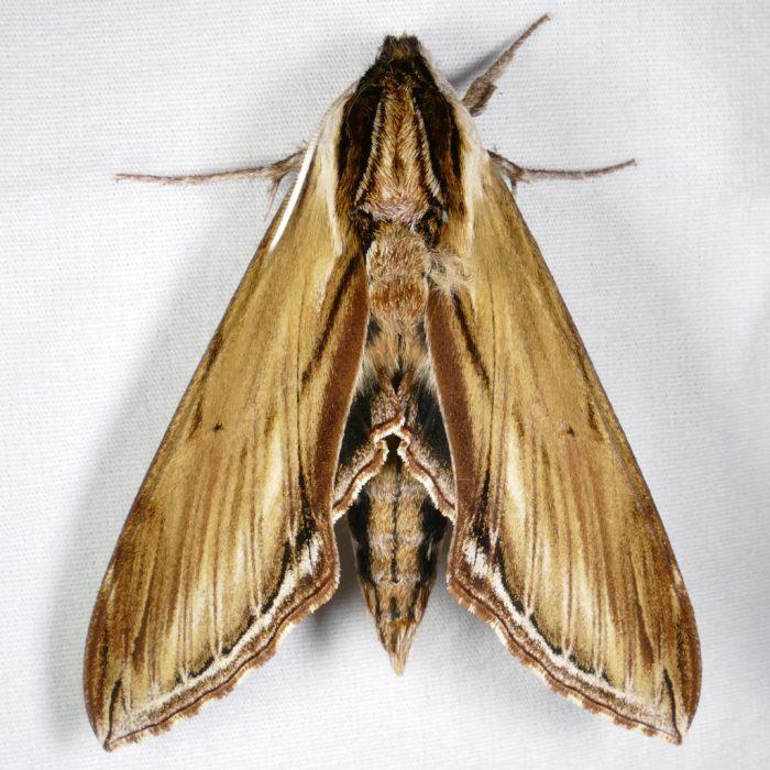 sphinx-kalmiae-5-27-16-1