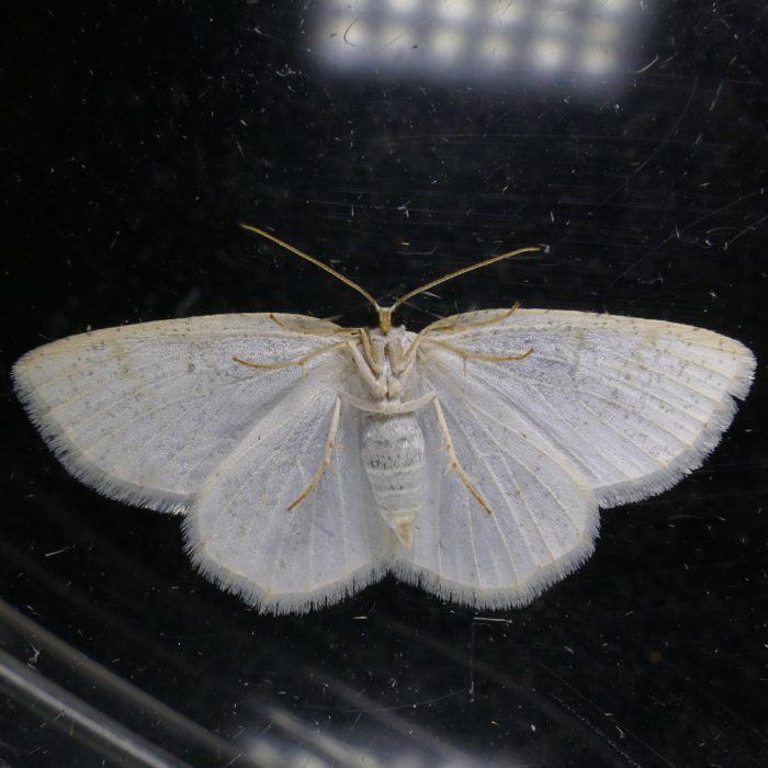 Cabera erythemaria-Gueneria similaria 6-13-16 1