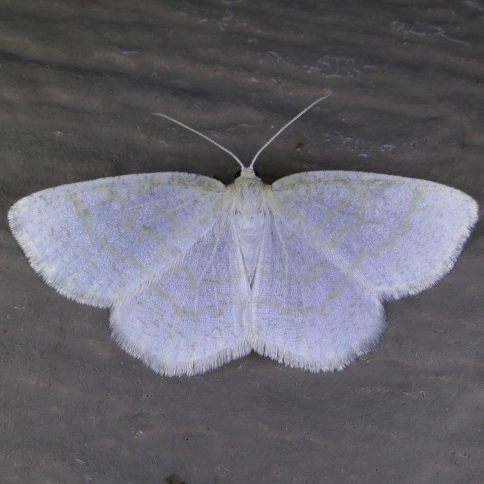 Cabera erythemaria-Gueneria similaria 6-13-16 2