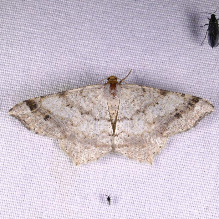 macaria-bisignata-8-9-16-1