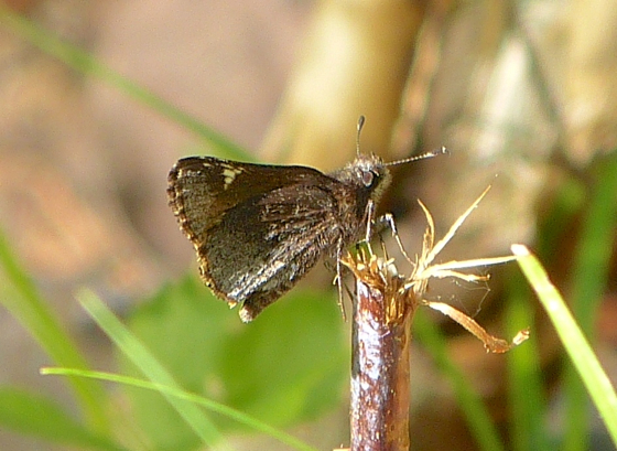 Common Roadside Skipper 5-28-14 1