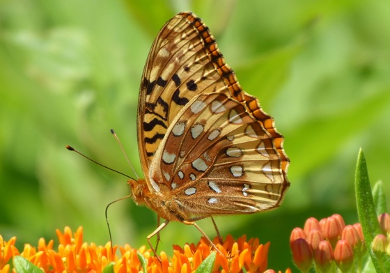 Great spangled fritillary 7-8-13 1