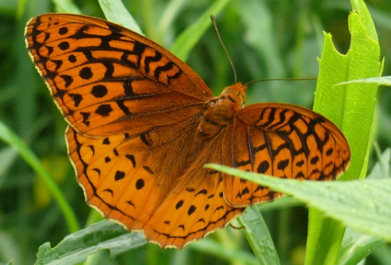 great spangled fritillary 4
