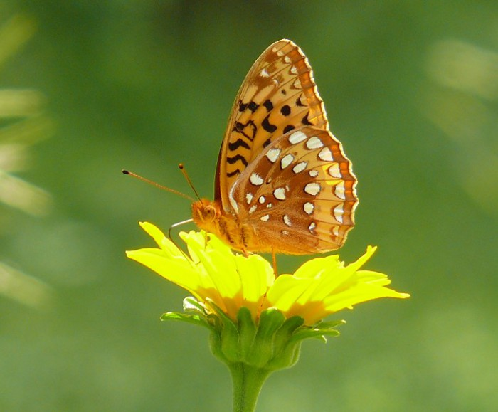 great spangled fritillary 7-08