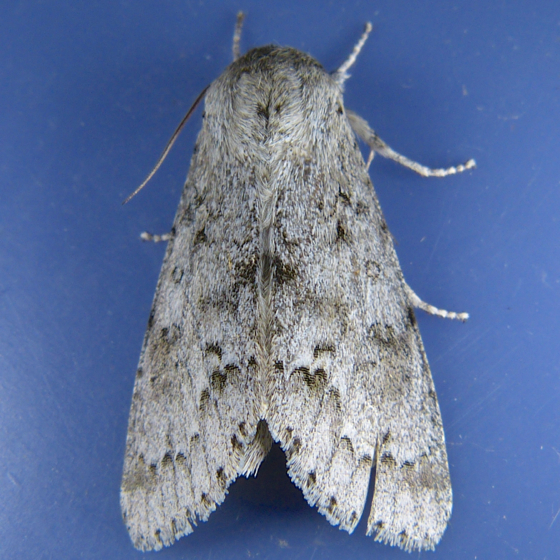 Acronicta dactylina 6-15-14 9