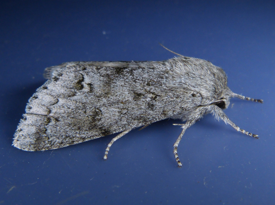 Acronicta dactylina T 6-15-14 2
