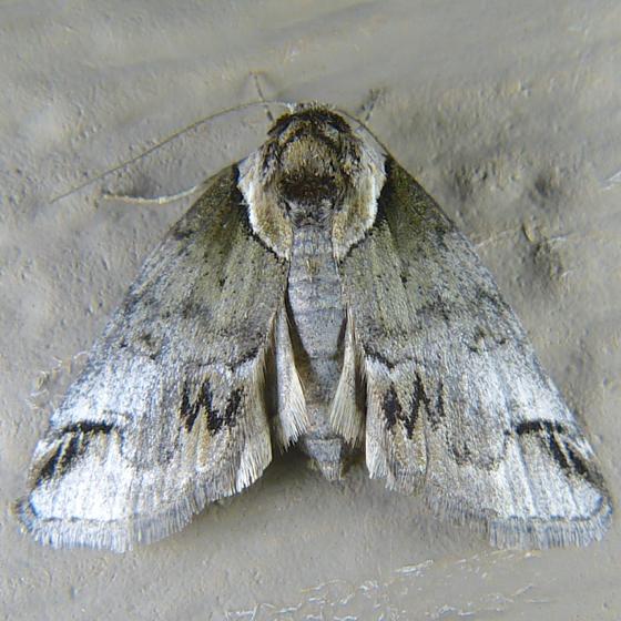 Baileya australis 7-26-14 9
