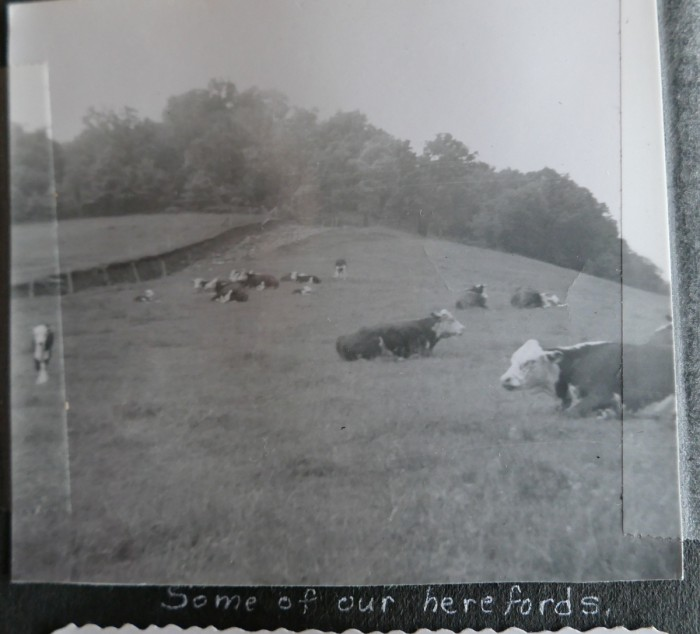 cows on pats prairie 1950