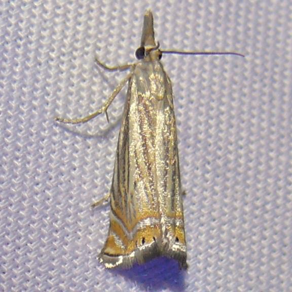chrysoteuchia-topiarius-6-27-10-3